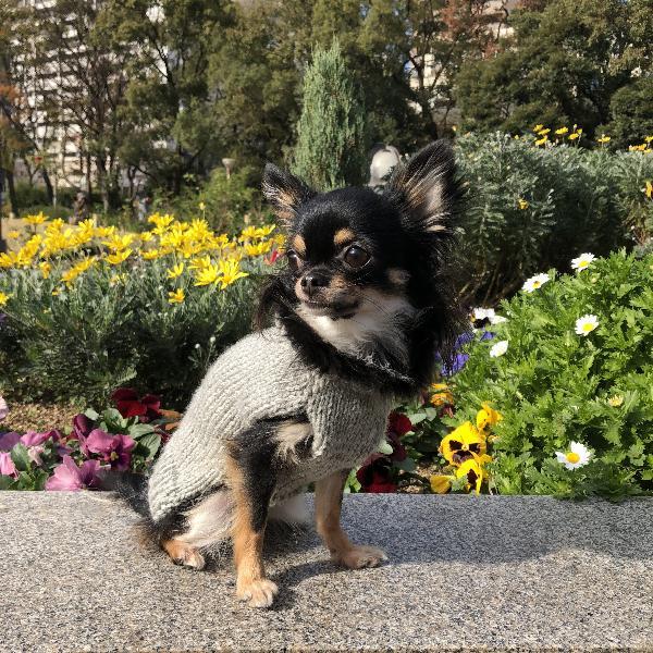 [無料編み図付き]手編みでニット犬服の作り方 (ペット用品)
